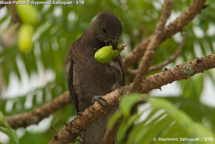 Black parrot in Vallée de Mail (Praslin)