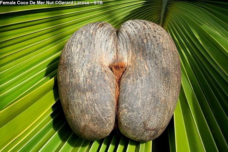Female Coco De Mer Nut in Vallée de Mai (Praslin)